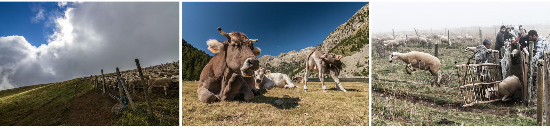 Recull, pastura, triatge. Foto: Sergi Balaguer