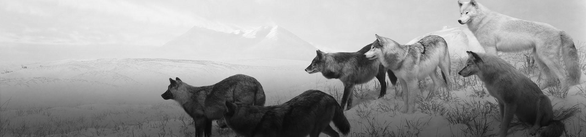 Hiroshi Sugimoto. Alaskan Wolves