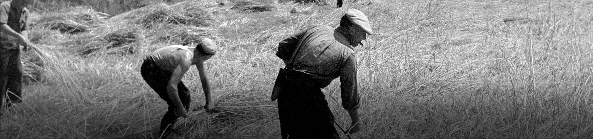 Camperols treballant al camp a l'agost. Prades, 1957. Col·lecció Joan Camp Permanyer / IEFC
